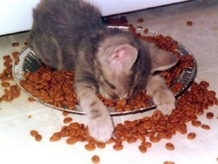 cat-in-food-bowl